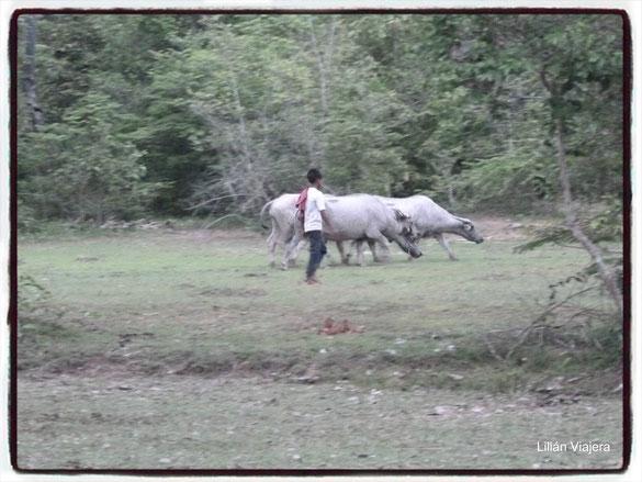Al salir del Templo Pre Rup, nos encontramos con bùfalos pastoreando bajo el cuidado de un pequeño niño...